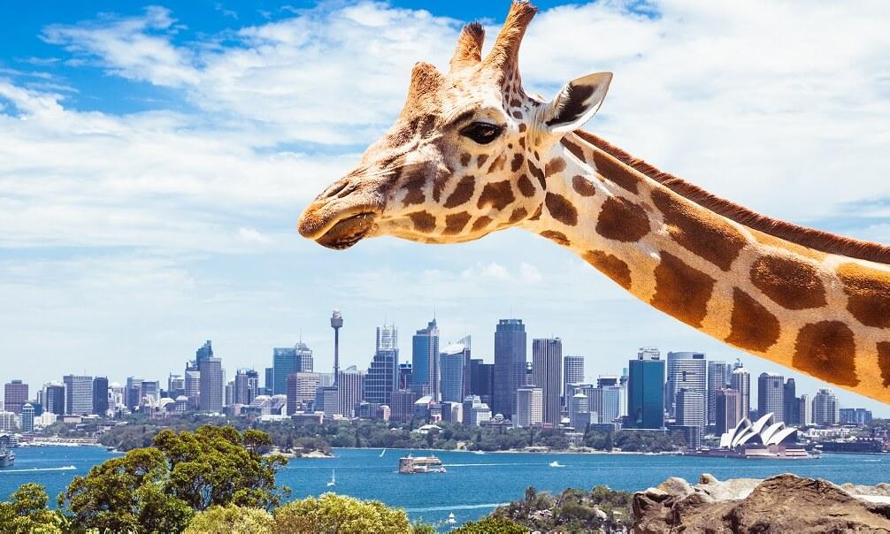 Giraffe at Sydney zoo in front of Sydney skyline