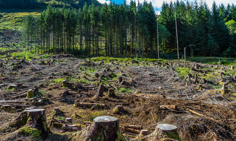 Deforestation scene showing stumps of trees in a clear-cut area with a row of pine trees in the background