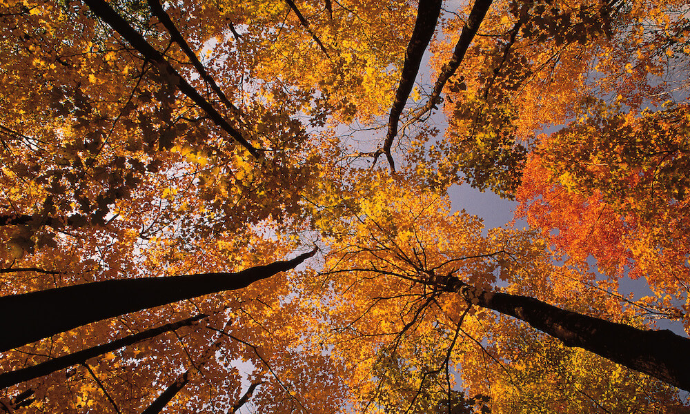 Looking up at trees in fall