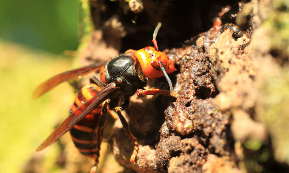 Japanese giant hornet (Vespa mandarinia) in Japan