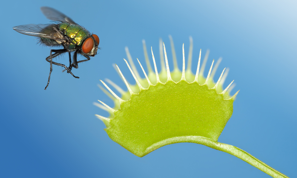 Fly being trapped by venus flytrap plant