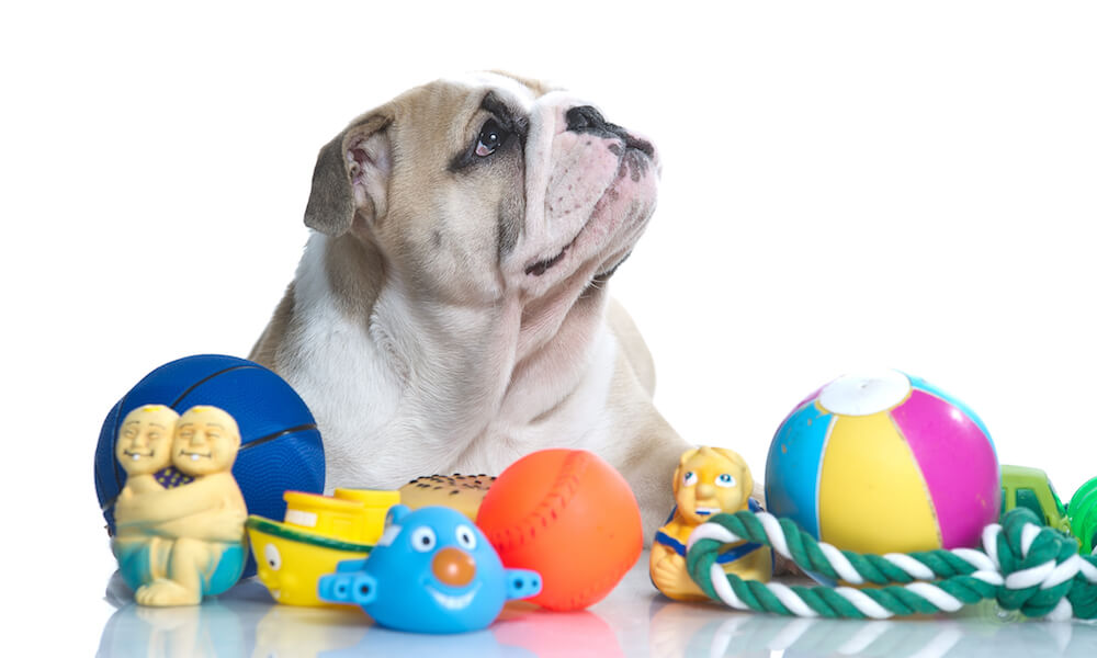English bulldog with dog toys