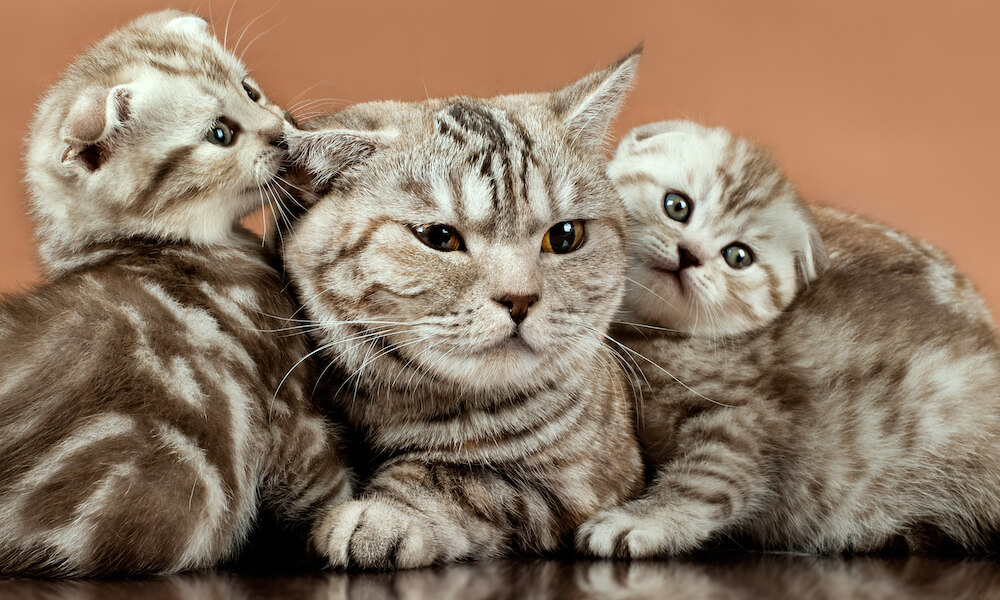 Mother cat and two kittens on brown surface, breed Scottish-Fold