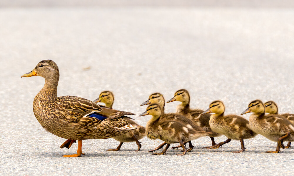 A mother duck and her ducklings crossing a road in a line