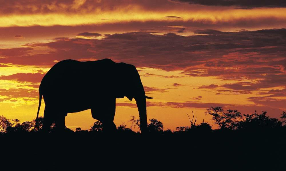 African Elephant (Loxodonta africana) at sunset