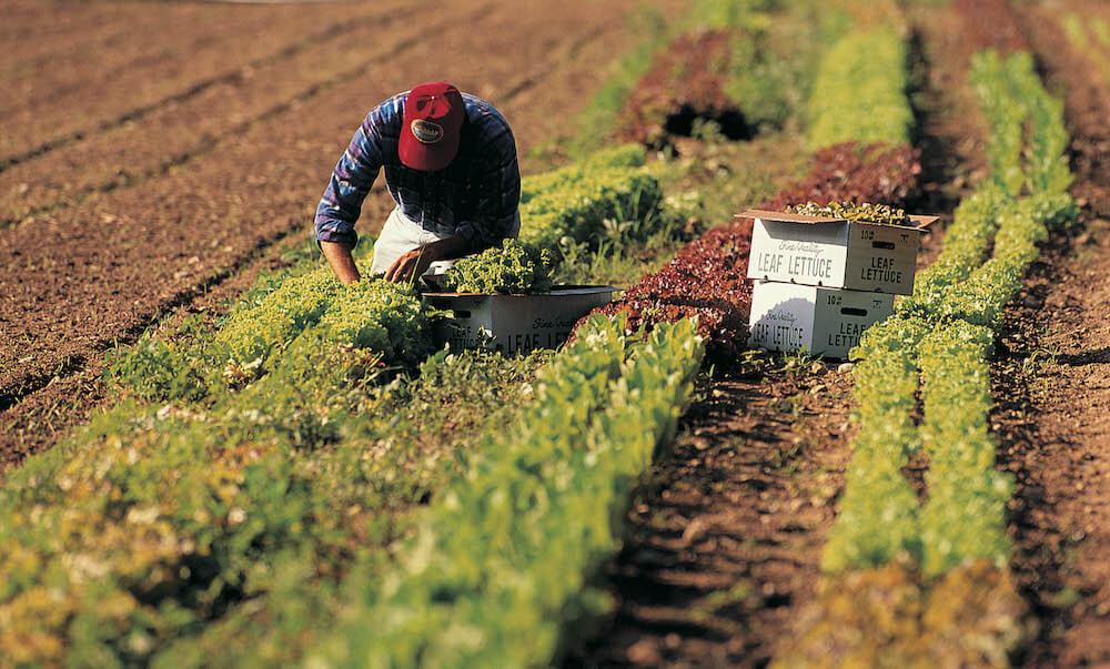 Man working in a field, harvesting lettuce