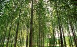 France, Europe, trees, poplars, nature, groves, outdoors, forests, forestry