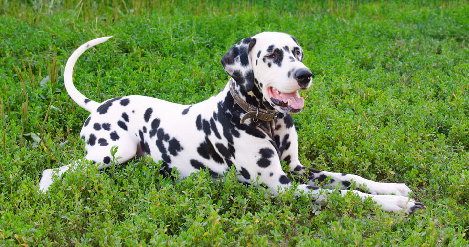 a happy Dalmation dog resting in the grass