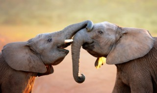 Two elephants greeting each other by touching trunks.