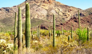 Many tall, spiky saguaro cactuses standing in wild desert scrub with dry, rocky hills in the background.