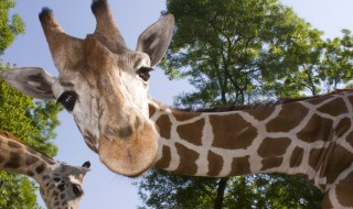 A giraffe bending its long neck to look right into the camera.