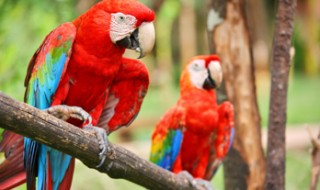 Two colorful scarlet macaw parrots sitting on a branch in a jungle.