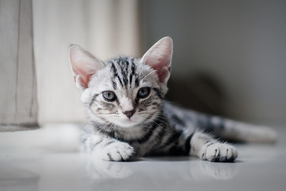 cute gray tabby kitten