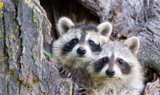 Two young raccoons peeping out from a hole in a tree trunk.