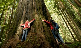 Three hikers hugging the gigantic trunk of a Californian Redwood tree.