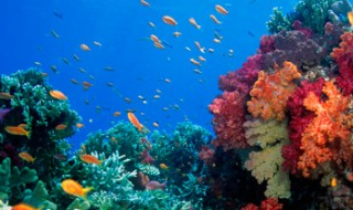 A coral reef with many colorful corals and fish.