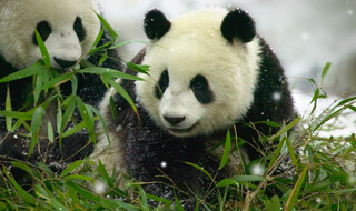 Two pandas sitting together in a field of bamboo.