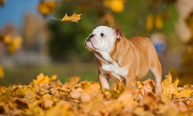 A cute English bulldog puppy standing in a pile of Fall leaves looking at a falling yellow leaf.