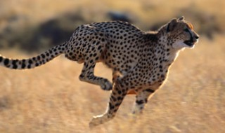 A cheetah running at full speed through dry grass.