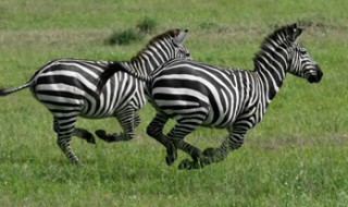 Two stripy zebras running together across a grassy field.