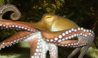 An octopus with eight long arms swimming at the bottom of the sea.