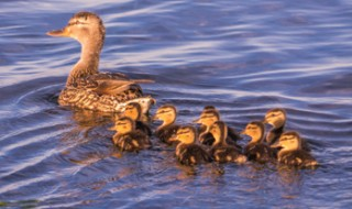 A mother duck with ten fluffy ducklings swimming behind her.