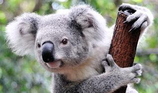 A koala bear resting on a tree branch.