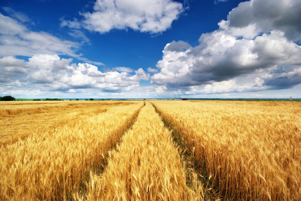 view of a field of wheat on a sunny day