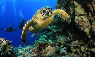 Hawksbill sea turtle and scuba divers on coral reef in ocean