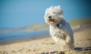 West Highland terrier running in the sand on the beach
