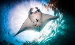 Manta ray in ocean seen from below