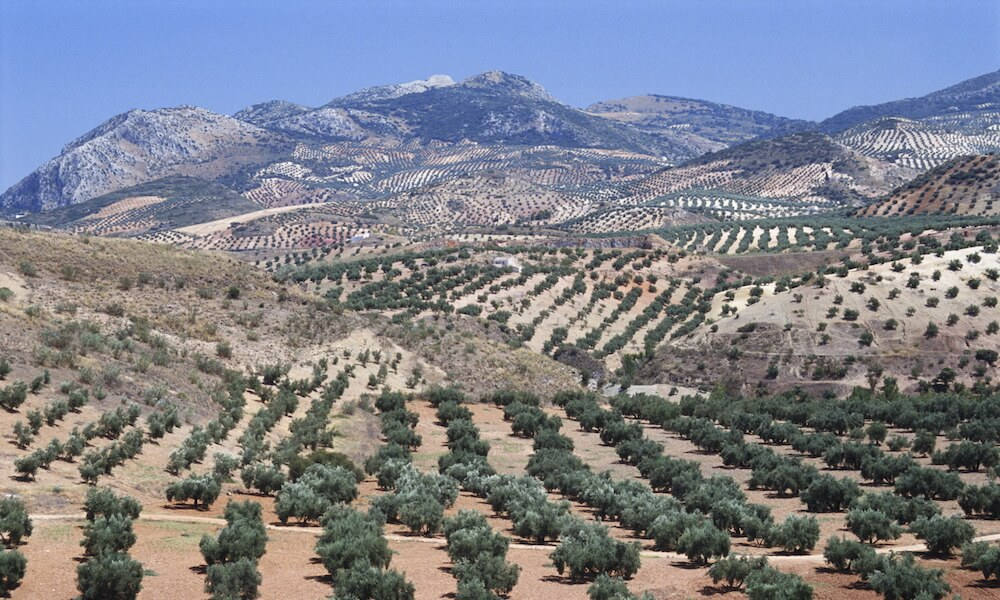 Olive groves in Spain