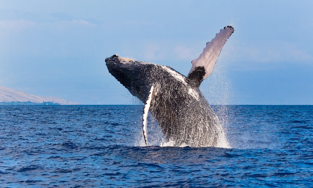 whale breaching out of the water