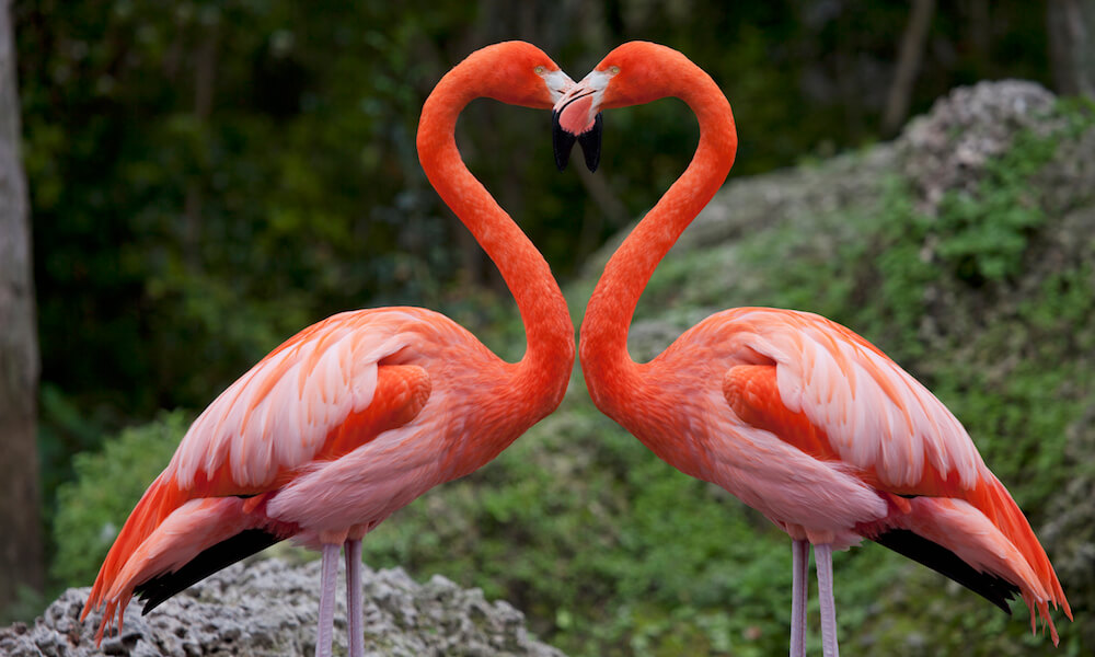 Pink flamingos with heart shaped necks