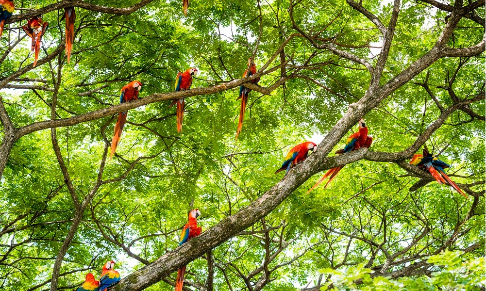 A flock of scarlet macaws in a tree in the wild. Guanacaste, Costa Rica