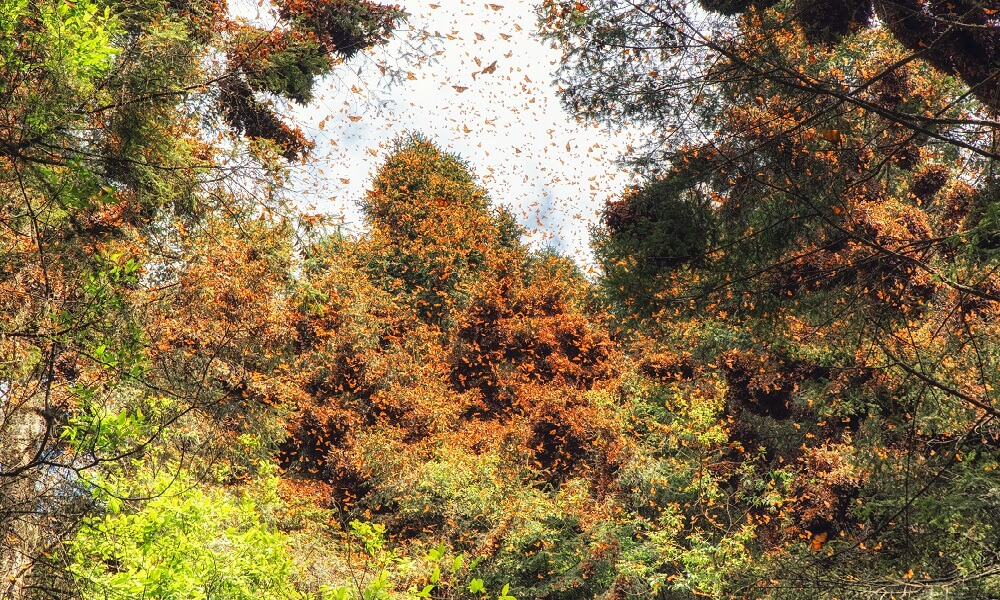 Monarch butterflies during spring awakening in Mexico